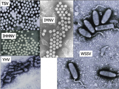 b2ap3_thumbnail_Fig-1-Schematic-of-the-major-viruses-of-penaeid-shrimp-The-virions-are-drawn-to-scale.png